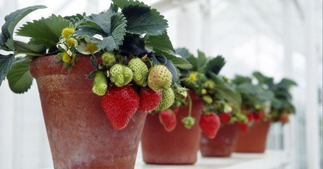 Домашняя клубника – подходящие сорта, полезный грунт, как правильно посадить рассадой и семенами?