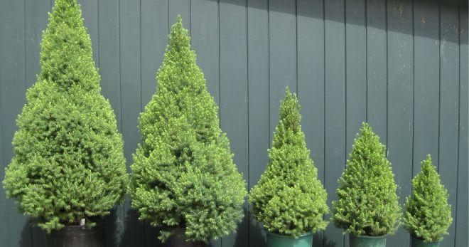 Канадская ель в горшке. Особенности ухода, пересадка новогоднего растения в грунт.