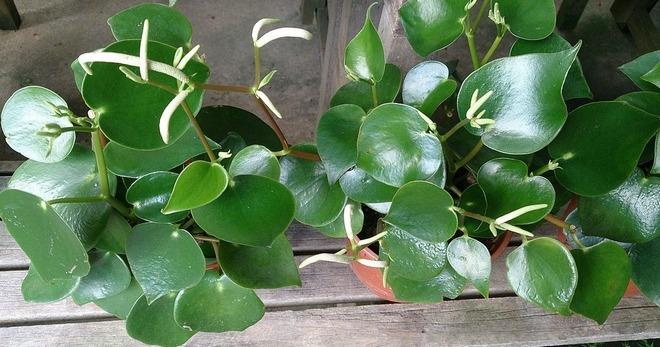 Пеперомия туполистная – как ухаживать и размножать, почему желтеют листья и не растет цветом, возможные болезни
