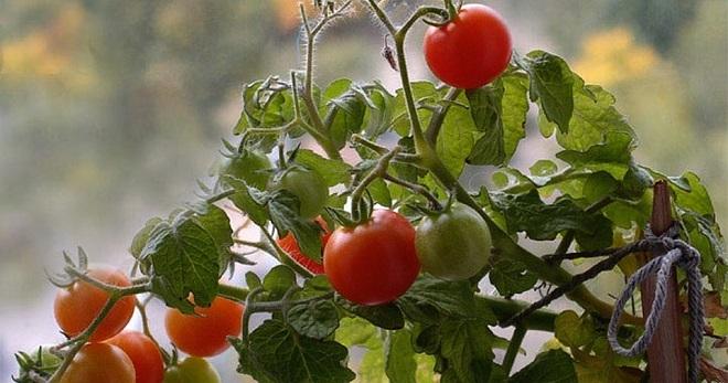 Совка на томатах как с ней бороться