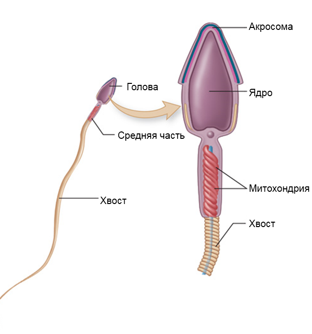 Движение сперматазоида от и до