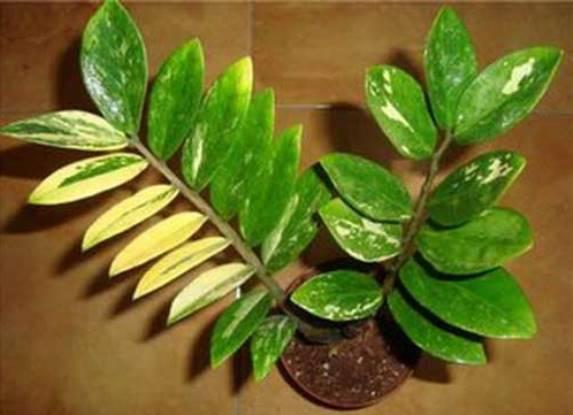 У долларового дерева желтеют листья: причины, что делать{q}