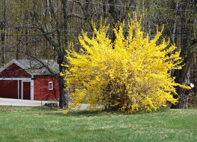 Размножение форзиции черенками осенью