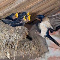 ласточки свили гнездо примета