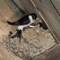 ласточки свили гнездо на балконе примета