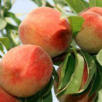 Полезные свойства и калорийность персика разных сортов