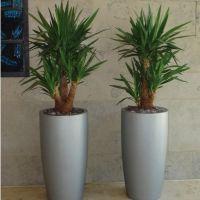 Цветы юкка пальма уличная показать фото