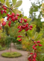 ягоды барбариса полезные свойства