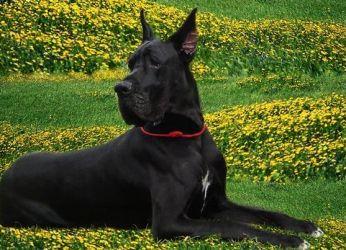 королевский дог собака фото