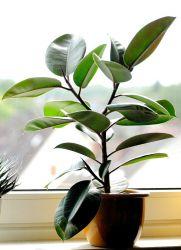 Фикус эластика сбрасывает листья