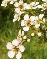 Масло чайного дерева – применение