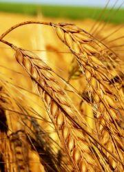 масло ростков пшеницы в косметологии