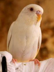 Попугай волнистый как научить разговаривать