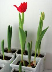 Срезка тюльпанов к 8 марта