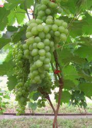 Виноград «Супер-Экстра»
