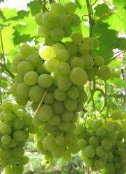 Виноград «Супер-Экстра» описание
