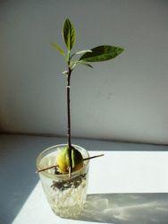 Выращивание авокадо из косточки