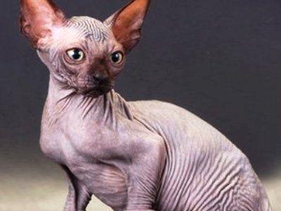 10 самых модных пород кошек1