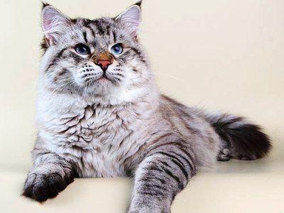 10 самых модных пород кошек10