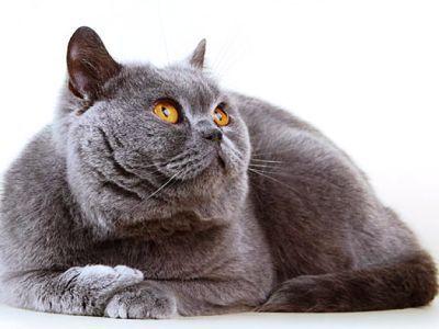 10 самых модных пород кошек2