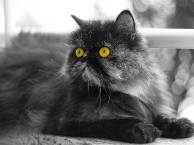 10 самых модных пород кошек3