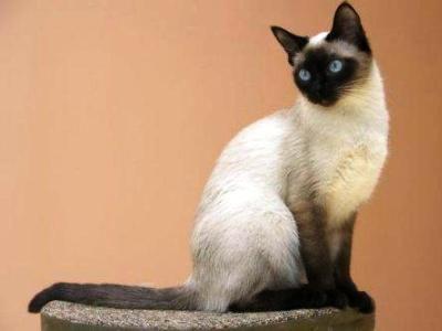 10 самых модных пород кошек5