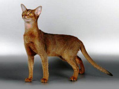 10 самых модных пород кошек6