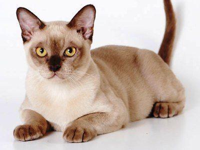 10 самых модных пород кошек7