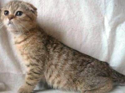 10 самых модных пород кошек9