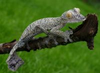 Растительноядные ящерицы
