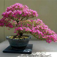Бонсай японская сакура выращивание из семян 481