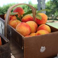 борьба с тлей на персике