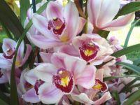 Ккак ухаживать за орхидеей цимбидиум