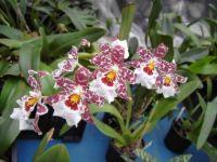 Орхидея камбрия как ухаживать