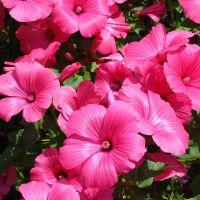 Как выглядит цветок лаватера фото
