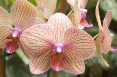 можно ли пересаживать орхидею