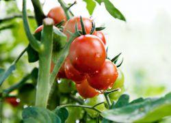Можно ли опрыскивать помидоры сывороткой