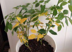 Домашняя роза желтеют и опадают листья
