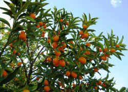 где растут мандарины