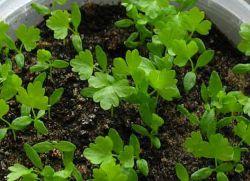 Сельдерей черешковый выращивание и уход фото