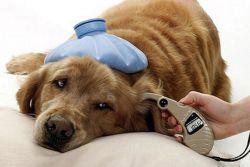 аденовирусная инфекция у собак