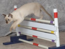 как научить кота командам