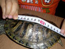 Как определить возраст черепахи