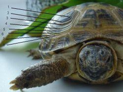 Как определить возраст черепахи1