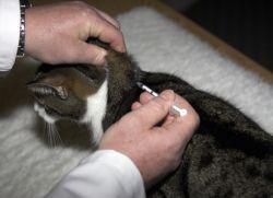 сахарный диабет у кошек симптомы
