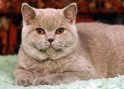 Характер британской кошки1