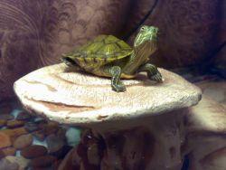 Черепаха красноухая уход