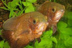 Ихтиофтириоз - лечение в общем аквариуме