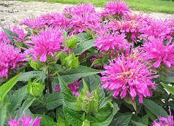 Цветы рута и фото