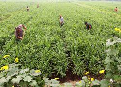 Что такое имбирь и где он растет?